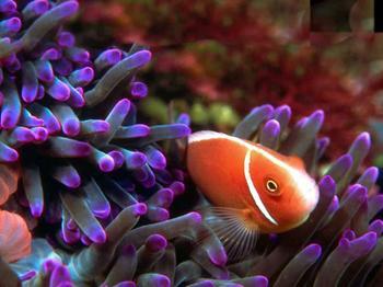 Neoclownfish